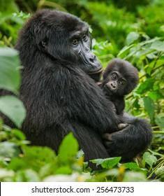 A female mountain gorilla with a baby. Uganda.