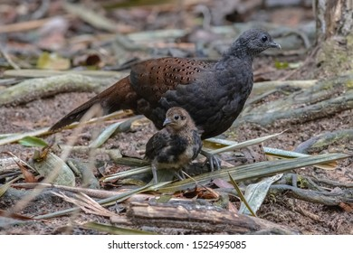 Female Mountain Peacock-pheasant (Polyplectron inopinatum) and chicks or Kuang Cermin. English synonyms: Rothschild's Peacock Pheasant, Mirror Peacock Pheasant and Malayan Peacock-Pheasant in nature