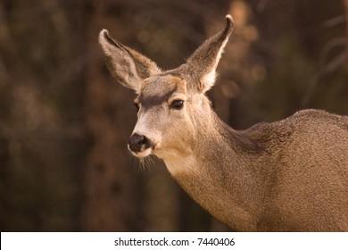 Female mule deer.
