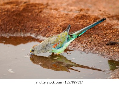Female Mulga Parrot, standing in muddy water while drinking, showing a perfect reflection of herself in the  still water.  Daylight shot and taken of a bird in the wild.