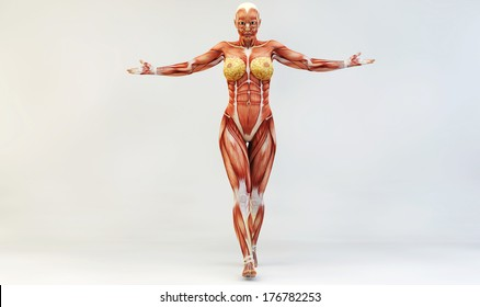 Female muscle anatomy