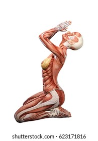 Female muscle anatomy praying 3D Illustration