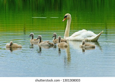 Female, Mute swan, Cygnus olor, watching over its cygnets in the warm spring sunshine, The Cotswolds, Gloucestershire, England, UK