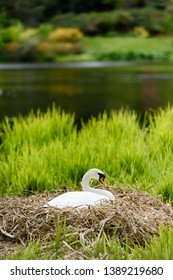 Female mute swan sitting on eggs on her nest among reed beds on a lake