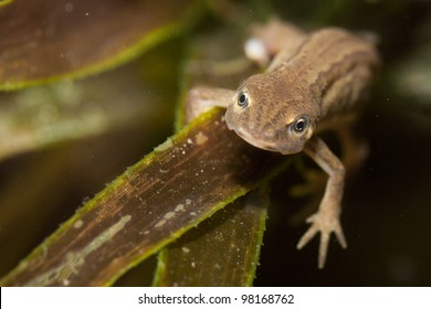 female of newt in natural habitat - underwater