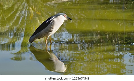 A female night-wildebeest (Nycticorax nycticorax) stands in shallow waters and is reflected as an image in the green waters of the lake.