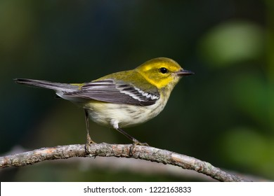 A female non-breeding Black-throated Green Warbler perching on a tree branch
