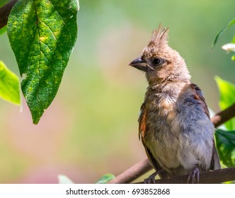 Female Northern Cardinal.