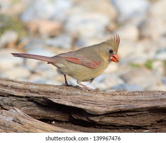 A female Northern Cardinal (Cardinalis cardinalis) perched on a fallen tree in the Texas Hill Country