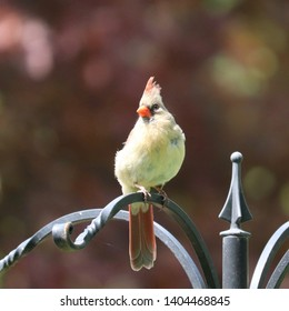 Female northern cardinal (Cardinalis cardinalis) perched on feeder in northern New Jersey garden spring May 2019
