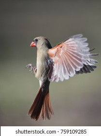 Female Northern Cardinal Coming in for Landing
