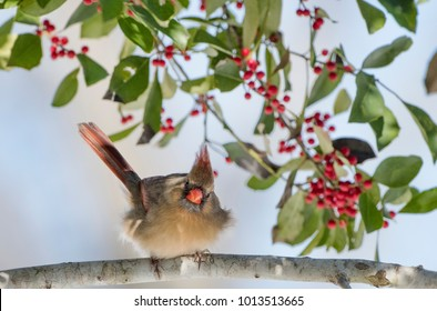 Female Northern Cardinal Perched in American Holly Tree with Red Berries