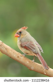 Female Northern Cardinal in Southern Texas, USA