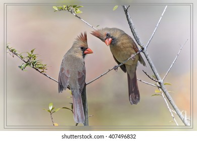 Female Northern Cardinals in Yaupon Holly Trees