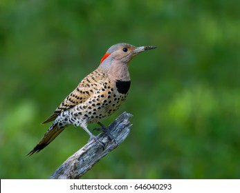 Female Northern Flicker Portrait on Green Background
