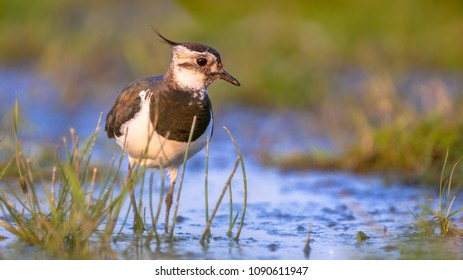 Female Northern lapwing (Vanellus vanellus) wading in shallow blue water in between green grass and looking in the camera