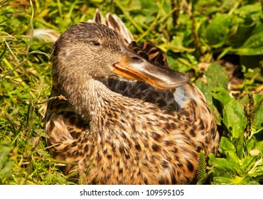 Female Northern Shoveler Duck in Grass, Close Up of Head and Brown Feathers, Anas Clypeata