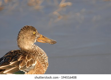 A female northern shoveler duck photographed at Bosque Del Apache National Wildlife Refuge.