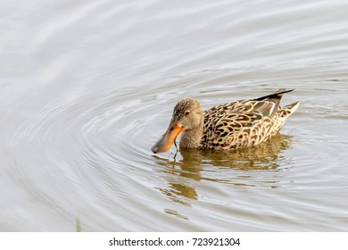 Female Northern Shoveler swimming on a lake in Vancouver Canada