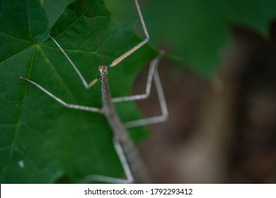 A female northern walkingstick with visible mouthparts.