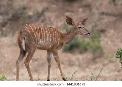 A female Nyala looks curiously and attentively at the surroundings before enjoying the green leaves of a shrub. Photographed in the Kruger National Park in South Africa.