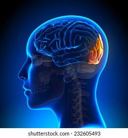 Female Occipital Lobe - Anatomy Brain