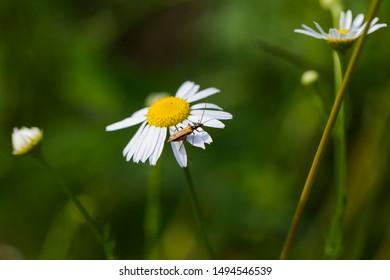 Female oedemera femorata the family Oedemeridae. Tripleurospermum inodorum, wild chamomile, mayweed, false chamomile, and Baldr's brow, is the type species of Tripleurospermum.