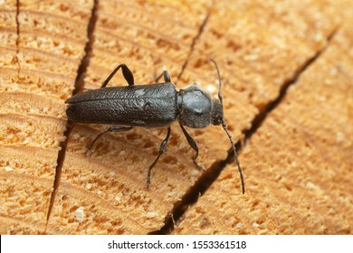 Female old house borer, Hylotrupes bajulus laying eggs in pine wood, this woodboring beetle can be a pest in old houses