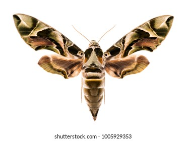Female oleander hawk-moth (Daphnis nerii) isolated on white background