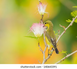 Female Olive-backed sunbird  drink nectar from Pink Powder Puff flower