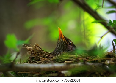 Female on the nest Turdus merula, Common blackbird, beautiful bird sits on the nest, bird in the nature habitat, black bird with yellow beak, egg heating, spring atmosphere