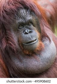 A female of the orangutan