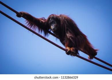 female orangutan climbing across ropes