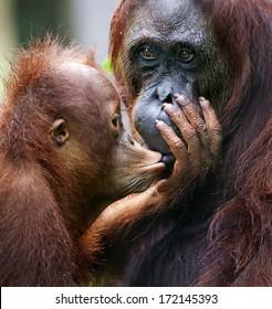 A female of the orangutan with a cub in a native habitat.The cub of the orangutan kisses mum. Borneo Rainforest.