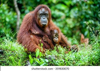 A female of the orangutan with a cub in a native habitat. Bornean orangutan (Pongo o pygmaeus wurmmbii) in the wild nature.Rainforest of Island Borneo. Indonesia.
