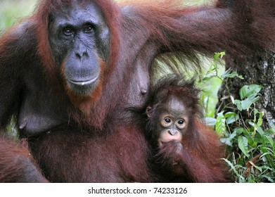 A female of the orangutan with a cub in a native habitat. Rain wood of Borneo.