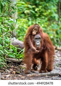 A female of the orangutan with a cub in a natural habitat.  Central Bornean orangutan (Pongo pygmaeus wurmbii) in the wild nature. Wild Tropical Rainforest of Borneo. Indonesia