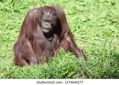 Female orangutan, grazing