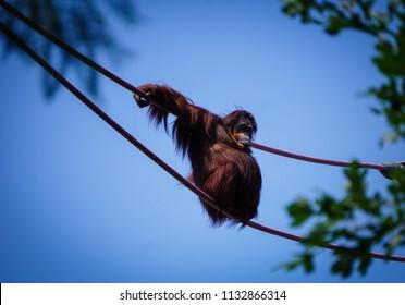 female orangutan hanging out on ropes