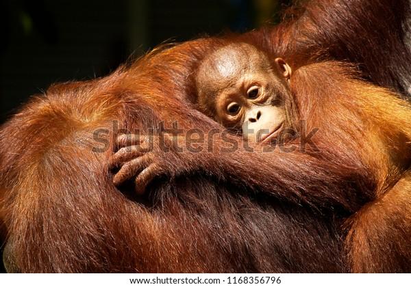 Une orangue et son bébé dans la forêt tropicale