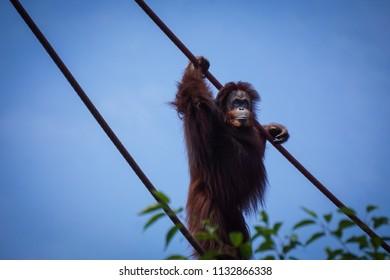female orangutan on ropes at zoo