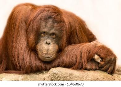 Female orangutan posing for a closeup portrait