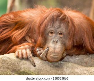 Female orangutan resting on rocks