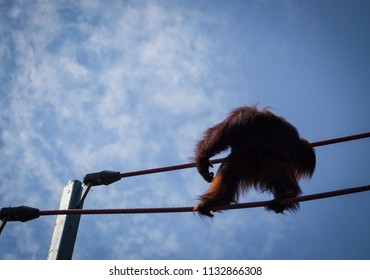 female orangutan walking on ropes