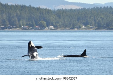 A female orca breaches in front of another killer whale.