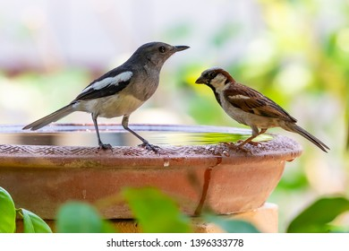 Female Oriental Magpie Robin and House Sparrow perching on clay bowl full of water