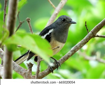 Female Oriental Magpie Robin on a tree branch