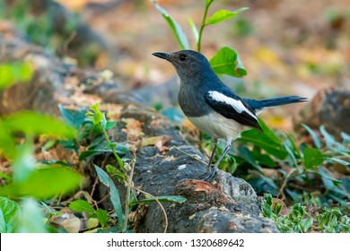 Female Oriental Magpie Robin perching on a tree root