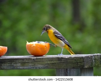 Female baltimore​ oriole eating an orange filled with grape jelly on a deck railing while watching the camera