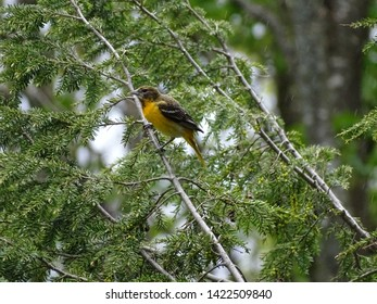 Female oriole perched in a hemlock tree during a downpour